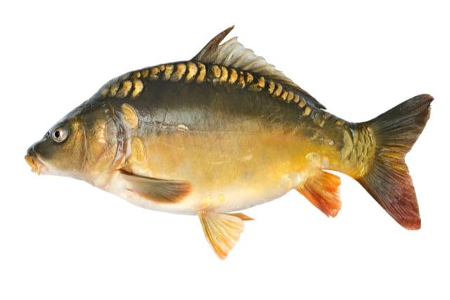 דג קרפיון