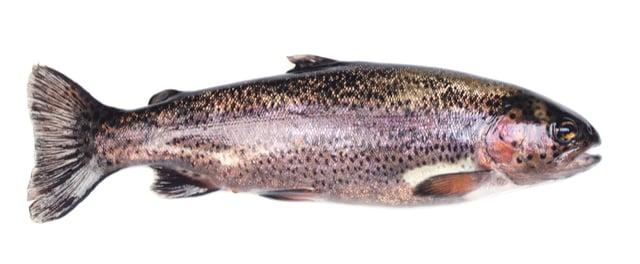 דג פורל