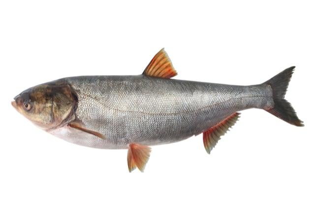 דג כסיף